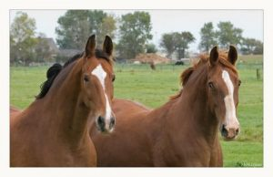 paarden-te-koop-marktgigant1